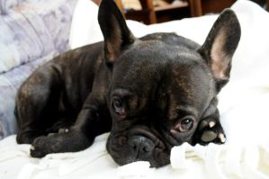 French Bulldog by DarthNigror