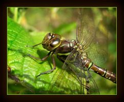 Mosaic Darner's Wife? by MuseSusan
