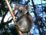 .-:Cute Koala:-. by BlindedByLovexXx