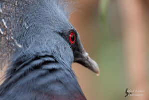 Victoria Crowned Pigeon by EdgedFeather