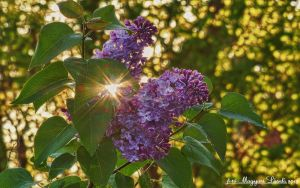 The morning flower. HDR-picture by magyarilaszlo