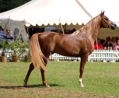 TW Arab Chestnut Flaxon mane/tail stand side view by Chunga-Stock
