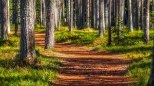Sunny road in a pine forest 2 by sulevlange