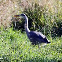 Out-and-About -- Heron 2 by Okavanga