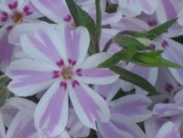 macro phlox by crazygardener