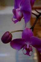 orchidee by xinax