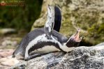 A special penguin. by Ravenith