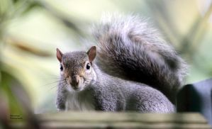 Out-and-About -- Grey Squirrel by Okavanga