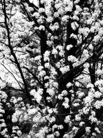 Another Pear Tree by Conspiracy-Z-Cycle