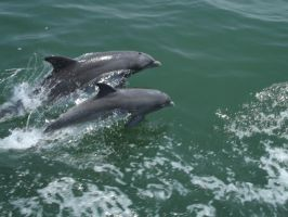 Wild Dolphins in Virginia by atwee921