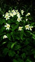 Wood Anemone by graphic-rusty