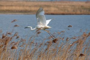 White Heron 2 by artistmarty