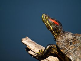 Red Eared Slider 1 - Apr 10 by mszafran