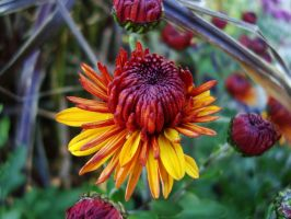 Fall Colored Flower by Gr8-Gatensby