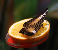 tropical butterfly p.1 by looziker
