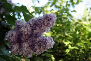 Lilac blossoming stock #15 by croicroga