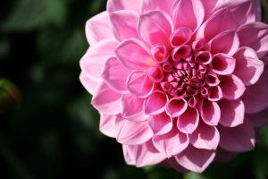 pink flower by AnniesASeagull