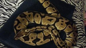 Sunshine:Female:Pastel:Ball Python5 by Easily-Distracted-15