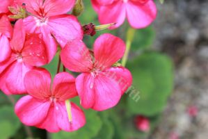 pink flowers by HannahFifth