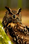 Eagle Owl in the Woods by Shadow-and-Flame-86