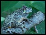 Eastern Grey Tree Frog 1 by KazurramahStudios
