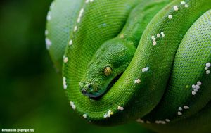 Green Tree Python by basticelis