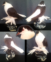 Fatty, the lahore dove by shinigami-taxidermy