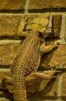 Bearded Dragon Stock 1 by FairieGoodMother