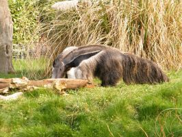 Giant Anteater by YesOwl