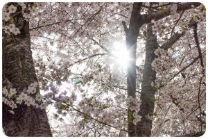 Cherry Blossoms 6 by moofestgirl