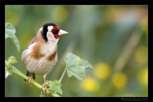 Goldfinch by RoieG