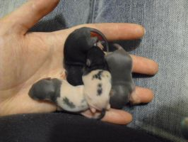 10 Days Old Baby Rattie Rats by SailorUsagiChan