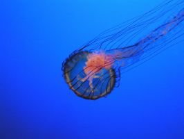 Monterey Aquarium JellyFish 1 by RoseOnyxis