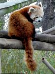 Red panda VII by Cansounofargentina