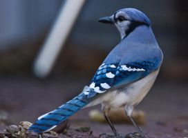 Blue Jay by MirMidPhotos