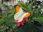 Great Orange Tip Dorsal View 001 by death-pengwin