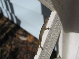 Brown Anole 22 by AxelHonoo