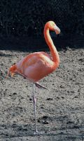 Flamingo by FrankAndCarySTOCK