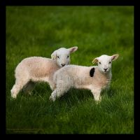 Spring Lambs by GMCPhotographics