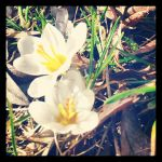Insta 2014 - Spring flowers. 6 by Jessi-element