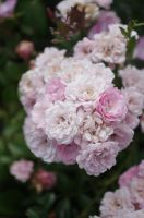Rose 02 by Prinzess-Stock
