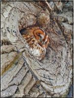 Tawny Owl by andy-j-s