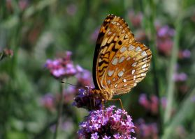 Great Spangled Fritillary #4 by JED1948