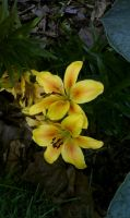 Yellow Lilies by Liefesa