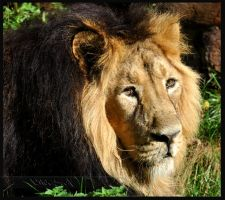 Asiatic Lion by Wild-Soul