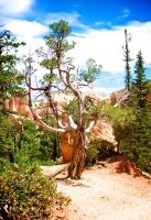 Bryce Canyon Tree 2 by blakelemmons