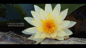 DSC01158lLotus by RazielMB-PhotoArt