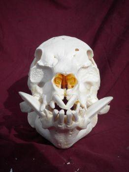 Pot Bellied Pig Skull Stock 2 by Minotaur-Queen-Stock