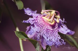 Passion Flower by kuschelirmel
