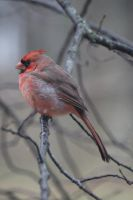 Male Cardinal by LaurieSalzler